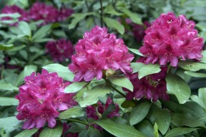 rhododendron-1024x680