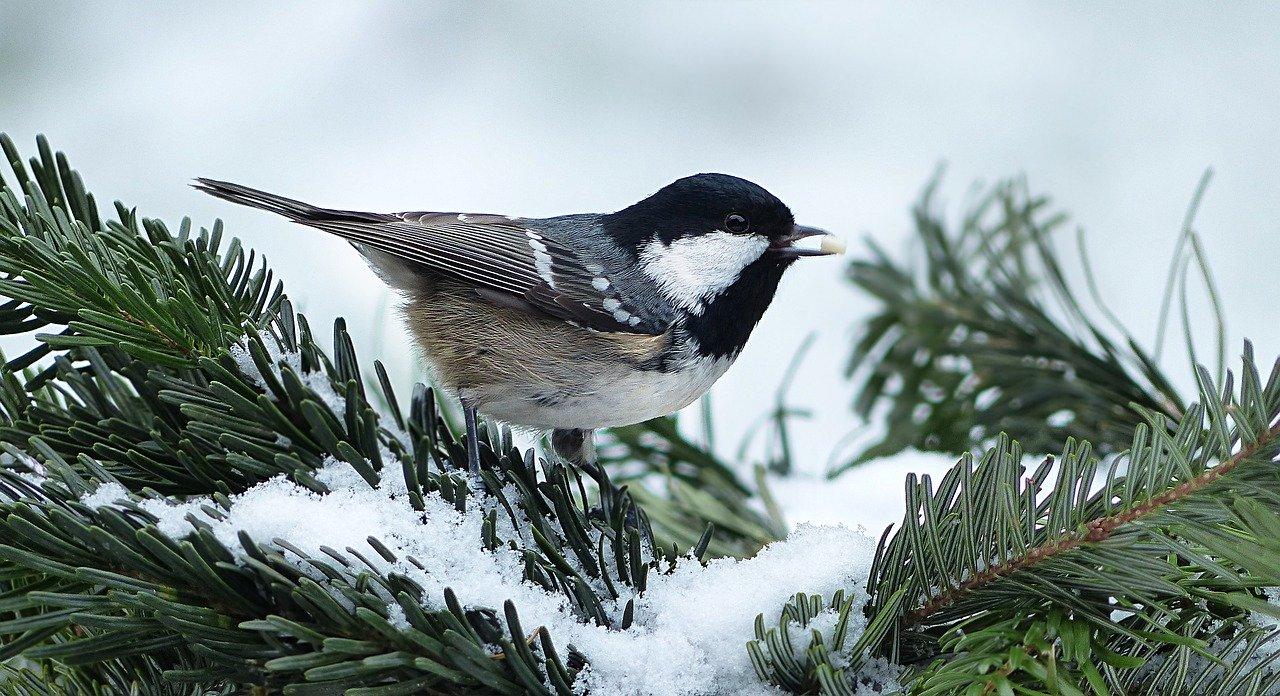 Enjoying a snowy day on an evergreen